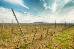 Rows in the vineyard in spring Royalty Free Stock Photos