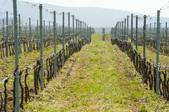 Rows in the vineyard in spring Royalty Free Stock Images