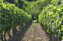 Rows of vineyard Royalty Free Stock Image