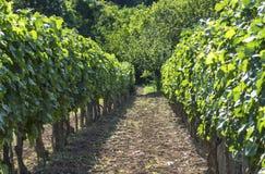 Rows of vineyard Royalty Free Stock Image