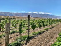 Rows at a Vineyard on Sunny Day. Multiple Vineyard Rows on a blue sky day in Central Otago New Zealand royalty free stock image