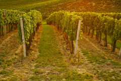 Rows of vineyard with sunshine Stock Images