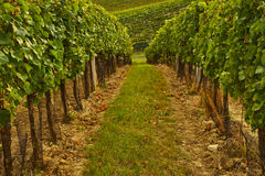 Rows of vineyard with sunshine Royalty Free Stock Photography