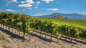 Rows of a Vineyard in a Tuscany Winery Estate stock image