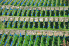 Rows in a vineyard view from above Royalty Free Stock Photography