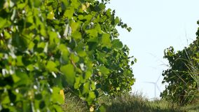Rows of vineyard and wind turbines. In the background stock video footage