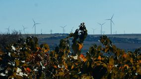 Rows of vineyard and wind turbines. In the background stock video