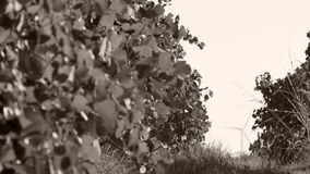 Rows of vineyard and wind turbines. In the foreground stock footage