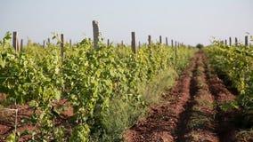Rows Of Vineyard stock video footage