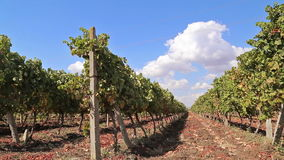Rows of vineyards with blue sky stock video footage