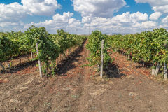 Rows of vineyards with blue sky Stock Photography