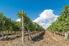 Rows of vineyards in the field Royalty Free Stock Photos