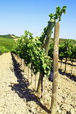 Rows of vineyards and hills of Tuscany in Italy Stock Image