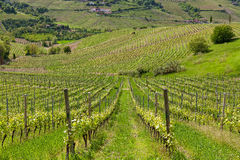 Rows of vineyards in Italy. Royalty Free Stock Images