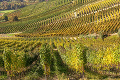 Rows of vineyards in Piedmont, Italy. Stock Image