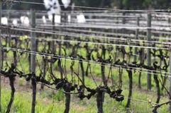 rows vingården Arkivbilder