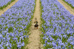 Rows of Violet Hyacith with Ducks Royalty Free Stock Image