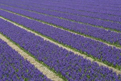 Rows of Violet Hyacith Stock Photos