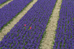 Rows of Violet Hyacith with two red Tulips Royalty Free Stock Photography