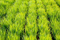 Rows of Wheat Stock Photography