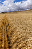 Rows of wheat in the Palouse. The rural landscape of rows of wheat in the Palouse region near Colfax, Washington stock image