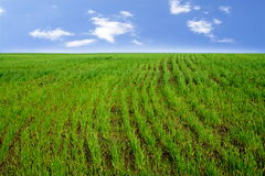 Rows of Wheat Sprouts on the Field. Rows of Wheat Sprouts on the Spring Field Royalty Free Stock Photos