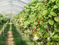 Rows of wild strawberries. In the greenhouse stock photo