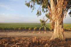 Rows of wine grapes by eucalyptus tree Stock Image