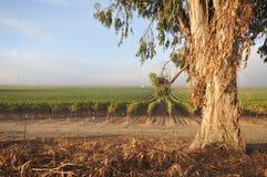 Rows of wine grapes by eucalyptus tree Stock Image
