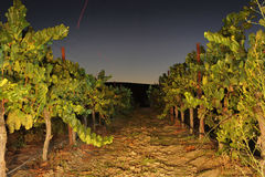 Rows of wine grapes at night Stock Photos