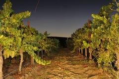 Rows of wine grapes at night Stock Photos