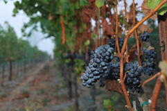 Rows of wine grapes at night Royalty Free Stock Photography