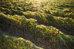 Rows of wine grapes at sunrise Royalty Free Stock Images