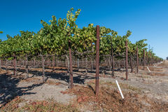 Rows of wine grapes on the vine Stock Images