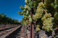 Rows of wine grapes on the vine Royalty Free Stock Photo