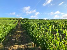 Rows of wine ranks. A nice slanting view of vine found in tuscany italy Stock Photos