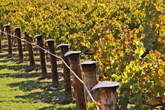 Rows of Winery Grape Vines in Autumn Colours. Adelaide, Australia Stock Photo