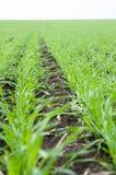 Rows of winter crop Stock Photos