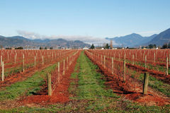 Rows of Winter Fruit Plants Stock Photography