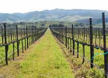 Rows of winter grape vines royalty free stock image