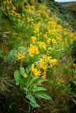 Rows of yellow Arrowleaf Balsamroot flowers in nature spring tim stock photo