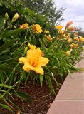 Rows of Yellow Lillies. These rows of bright yellow Lillies dress up the garden in bright color stock photo