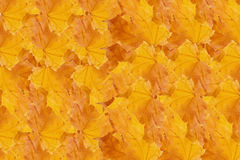 Rows of yellow maple leaves Stock Photos