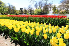 Rows of yellow and red tulips. In Keukenhof of Netherlands Stock Photo