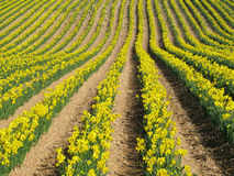 Rows of yellow spring daffodil flowers. Stock Images
