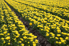 Rows of yellow tulips Royalty Free Stock Photos