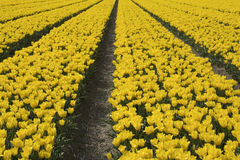 Rows of yellow tulips royalty free stock images