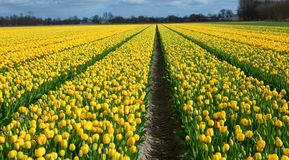 Rows of yellow tulips in Dutch countryside Royalty Free Stock Image