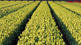 Rows Of Yellow Tulips In Dutch Countryside Royalty Free Stock Images