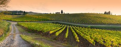 Rows of yellow vineyards at sunset in Chianti region near Florence during the colored autumn season. Tuscany. stock image